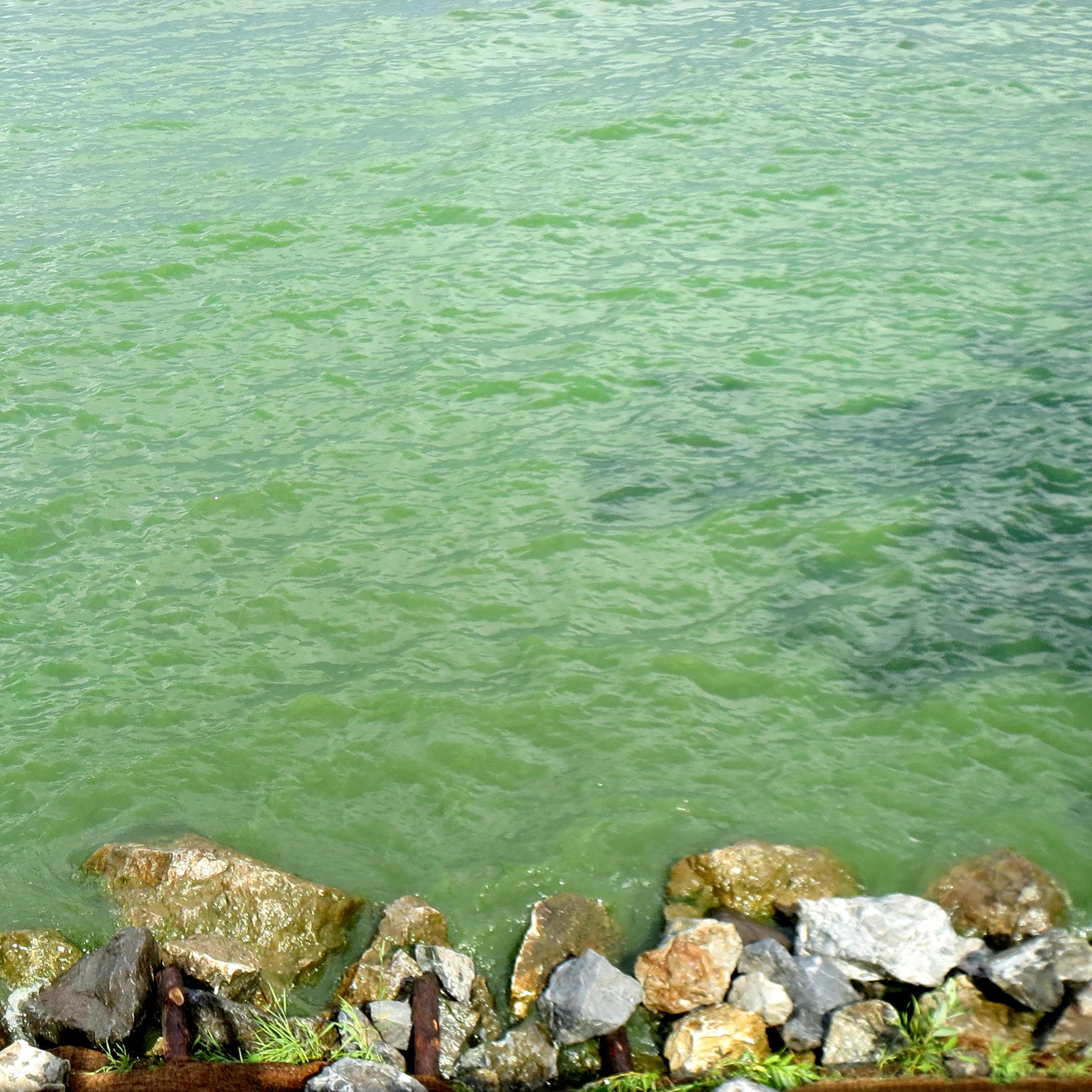 Bloom de cyanobactérie dans une baie